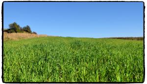 zielone pole Żary