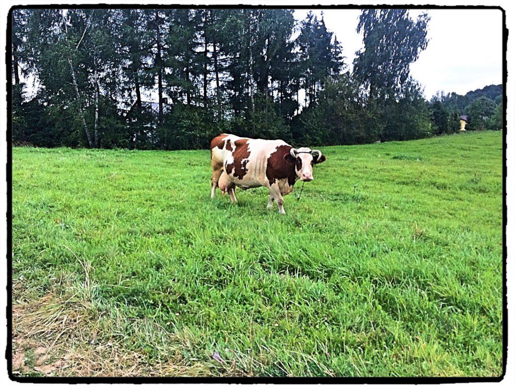 krowa 1